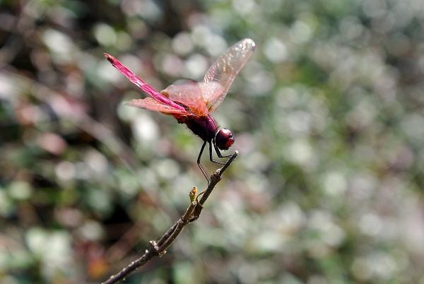 蜻蜓舞翩翩图片